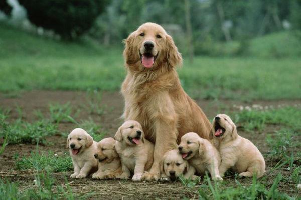 Capezzoli irritati del cane che allatta: come rimediare