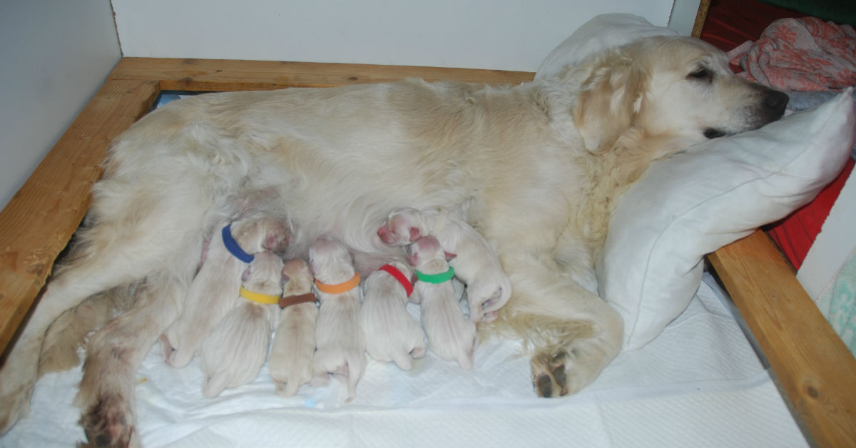 allattamento cane