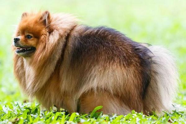 cane peloso