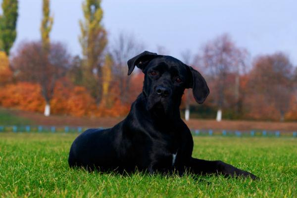 cane grosso e nero
