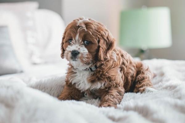 cucciolo sul letto