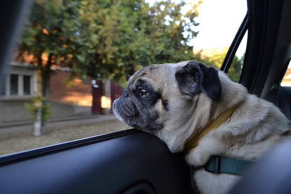 Perché i cani mettono la testa fuori dal finestrino?