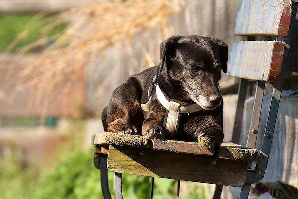 i cani si sentono a loro agio sui mobili