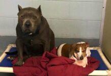 due-cani-inseparabili-vengono-adottati-ma-poi-accade-limpensabile