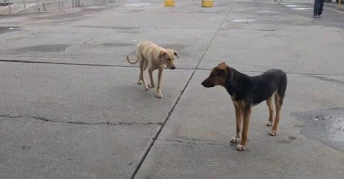 due-cani-percorrono-piu-di-30-km-per-assistere-il-loro-migliore-amico