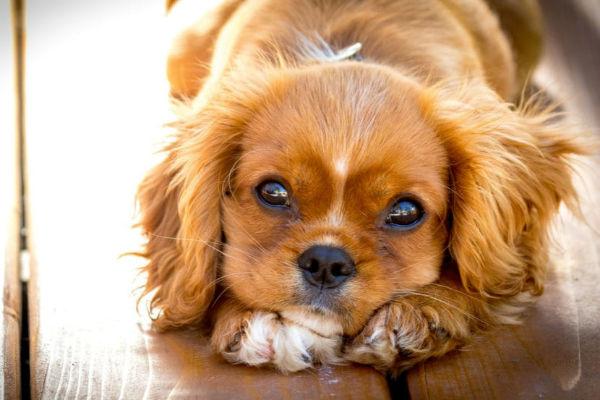 Ematomi nei cani: come si trattano e cosa c'è da sapere