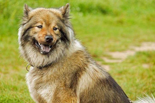 Come usare l'olio di argan sui cani