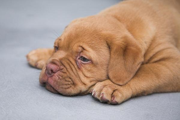 È giusto dare le frattaglie ai cani? Dovrebbero mangiarle?