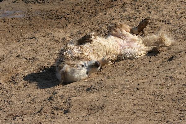 Ai cani piace giocare nel fango: come mai?