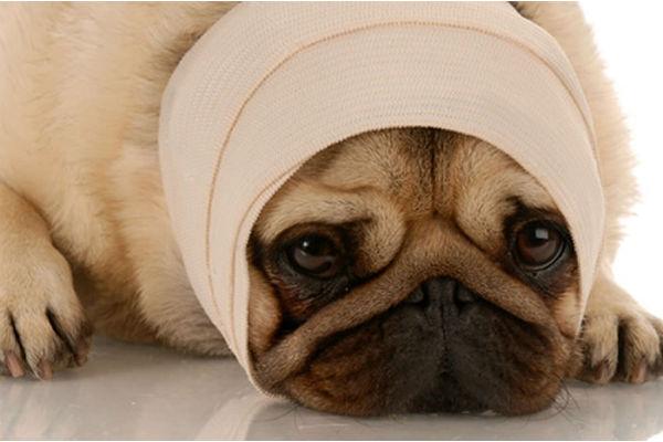 I cani hanno il mal di testa? E come si fa a capirlo?