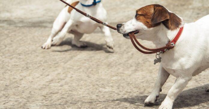 cane gioca con il guinzaglio