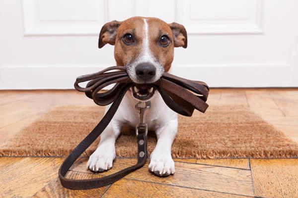 Perché i cani mettono il guinzaglio in bocca?