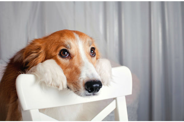 I cani possono mangiare il fegato? È sicuro?