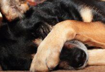 cane si copre gli occhi