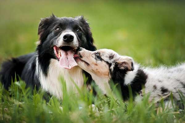 cani che si leccano