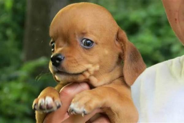 cane con la testa rigonfia