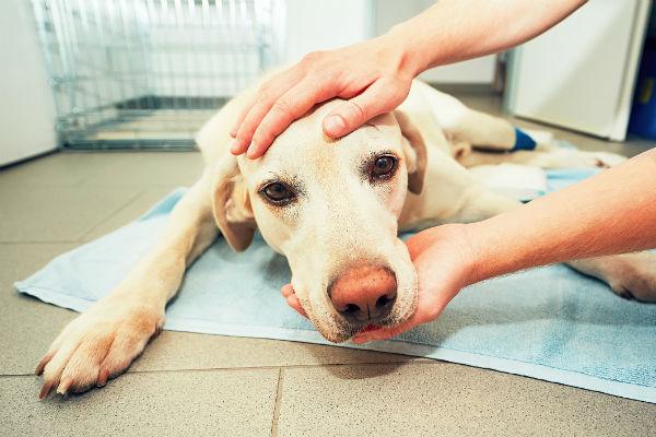 Ulcera intestinale nel cane: cos'è e cosa fare