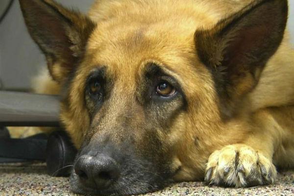 Il cane ha mangiato una lucertola, è in pericolo?