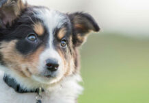 cane piccolo