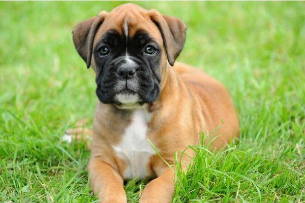 Il cane mangia la placenta dei cuccioli: è normale?