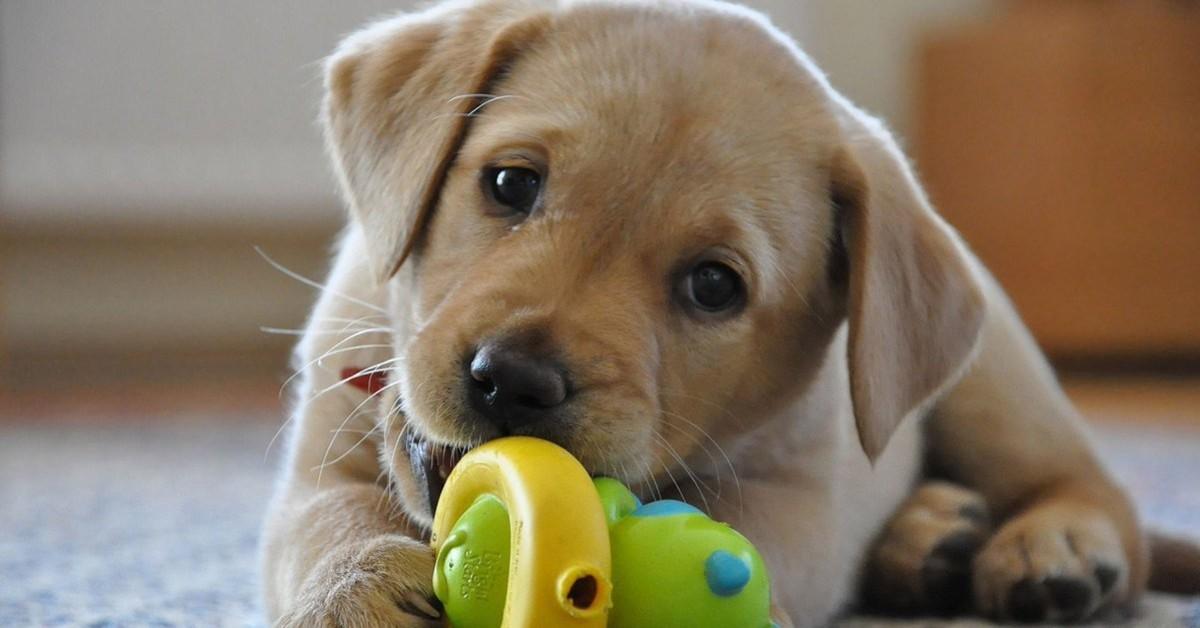 cani pensano che i giocattoli siano cuccioli