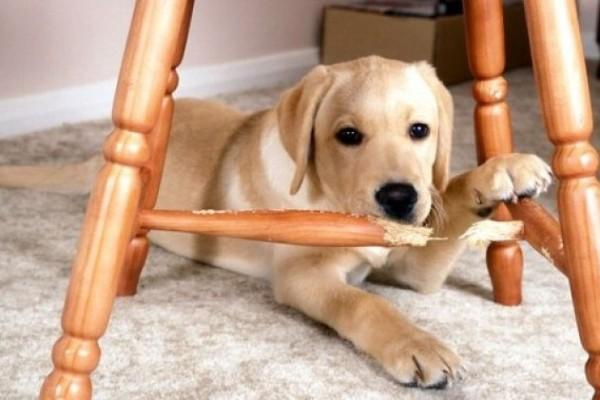 cane rosicchia una sedia