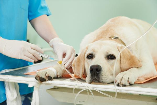anestesia al cane