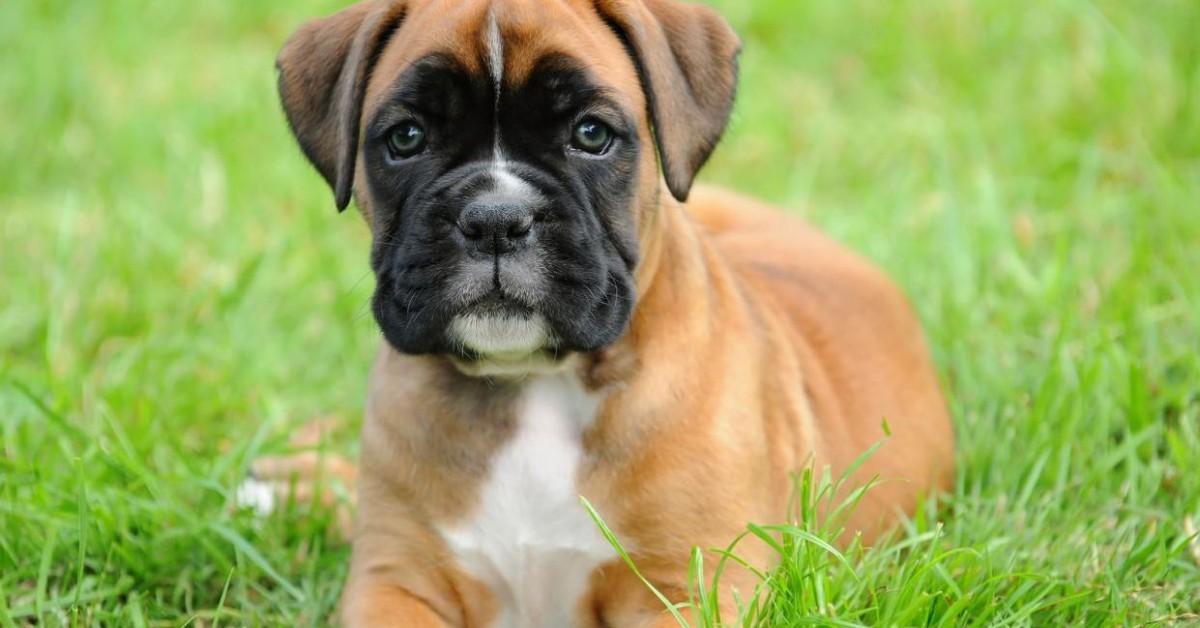 cucciolo di boxer