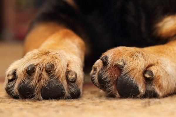 zampe del cane