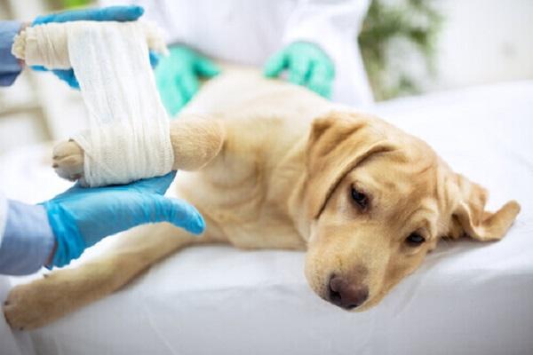 Panosteite nel cane: sintomi, cause e modalità di diagnosi