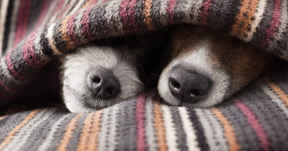 cani tra le coperte