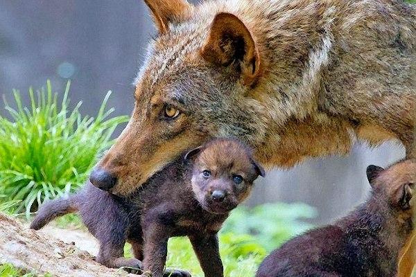 lupo con il cucciolo