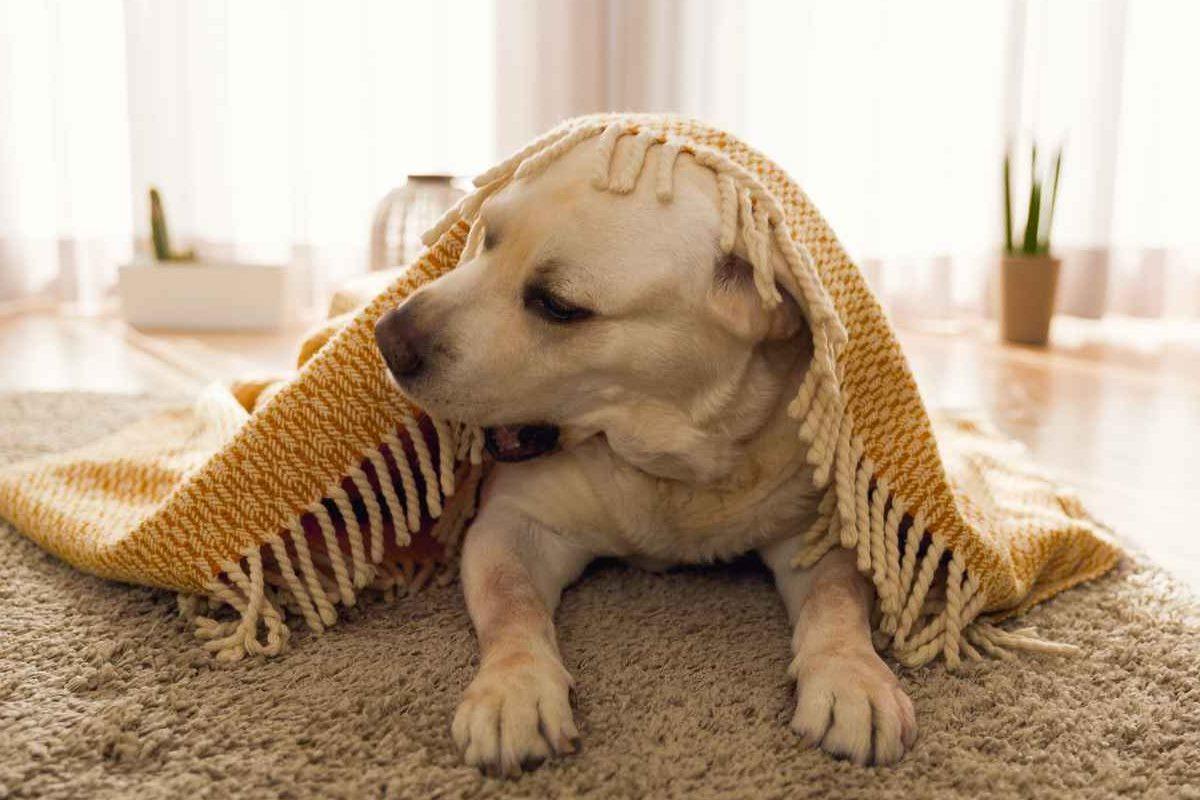 cane che si copre con la coperta