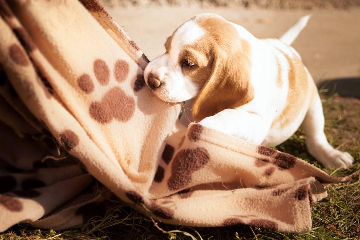 cucciolo di beagle che gioca con una coperta