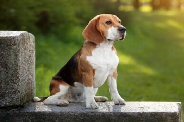 Poliarterite del cane: tutto quello che c'è da sapere