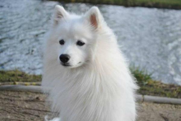 Razze di cani giapponesi: ecco quali sono