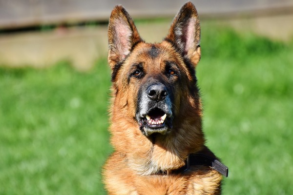 vi spieghiamo come insegnare al cane a parlare