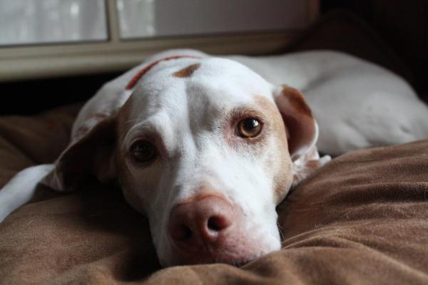 Segnali di aborto spontaneo nel cane: quali sono?