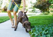 cane sensibile al collare
