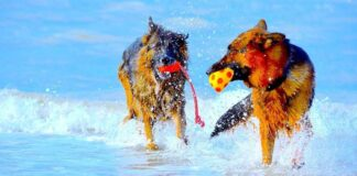 cani giocano a mare