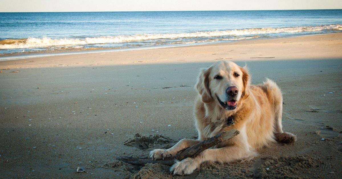 cane labrador a mare