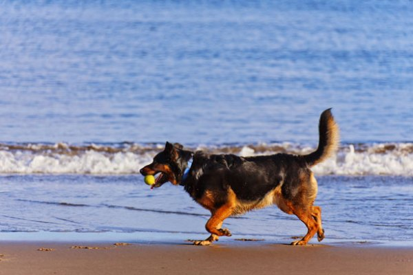 cane a mare