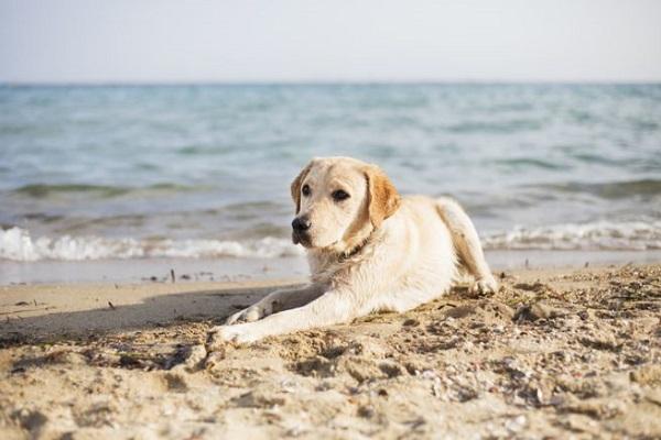 cane labrador sulla sabbia