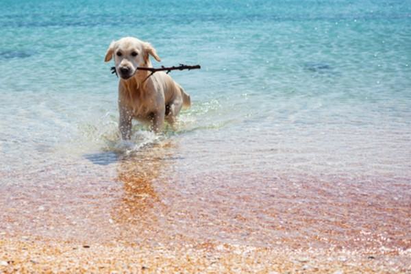 cane riporta un legnetto