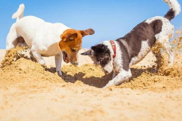 cani che scavano nella sabbia