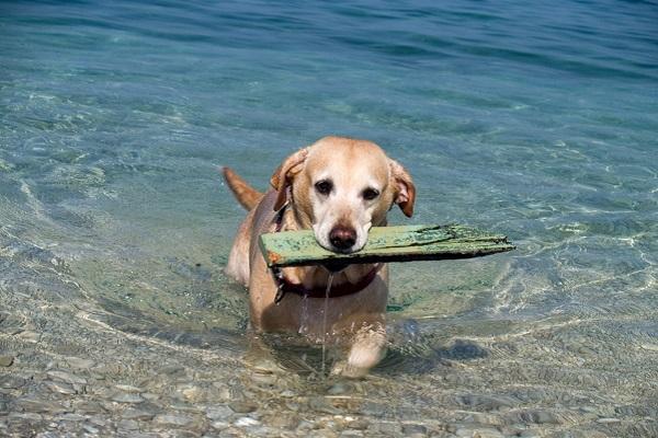 cane con legno tra i denti