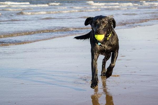 cane nero con pallina da tennis