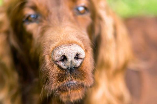 Tagli sul naso del cane: come curarli al meglio