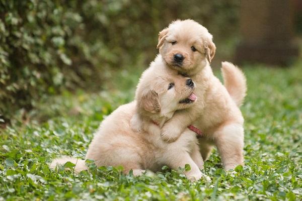cuccioli di cane che giocano sul prato