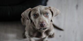 Occhi del cane: cosa ci dicono con le loro espressioni